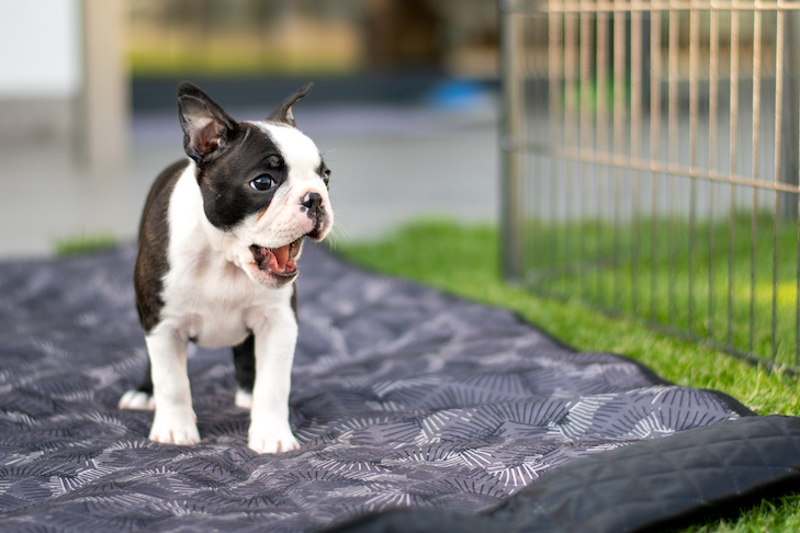 Boston Terrier puppy standing in a pen outdoors.