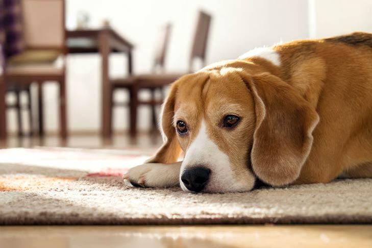 Senior Beagle lying on a rug indoors.
