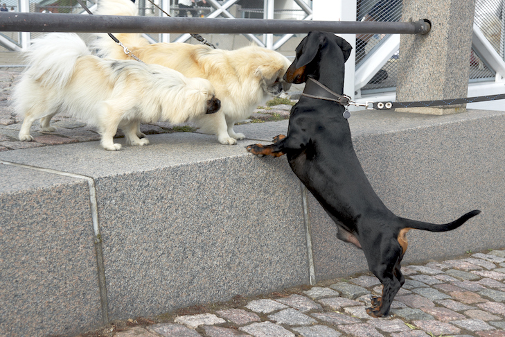 Dachshund meeting other dogs on the sidewalk.