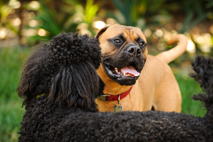 Poodle and Bullmastiff greeting each other outdoors.