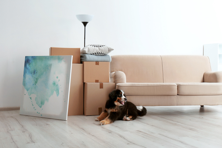Bernese mountain dog puppy near moving boxes in living room