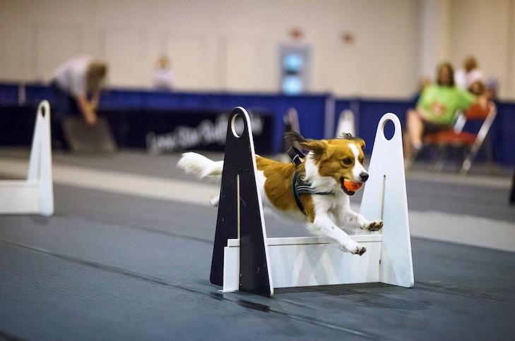 nederlandse kooikerhondje competing in flyball indoors
