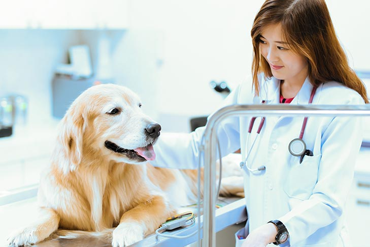 Golden Retriever at the vet getting tests.