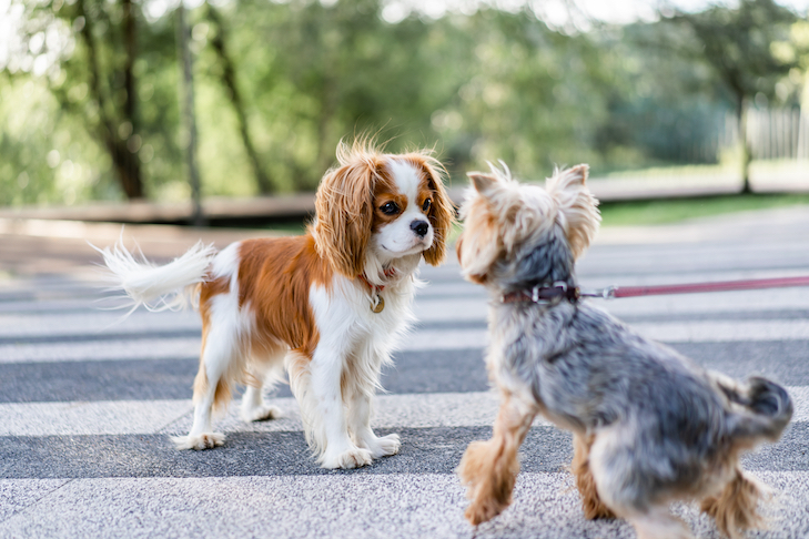 Cavalier King Charles Spaniel meeting a Yorkshire Terrier at the park.