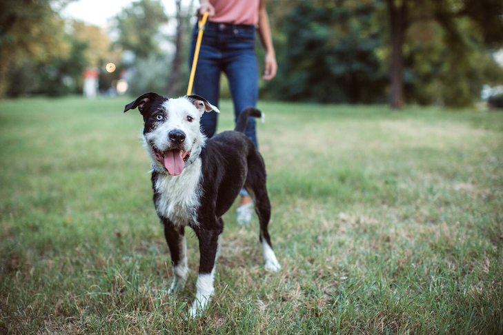 Mixed breed being walked in the park by a woman.