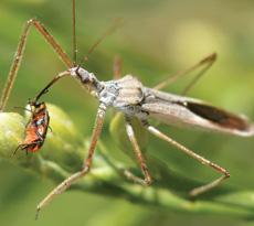 Assassin Bugs Zelus renardii