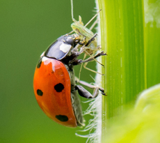 Beneficial Insects for Garden Pest Control