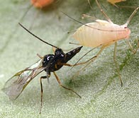 Beneficial insect attacking an aphid