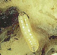 Cabbage Root Maggot Control