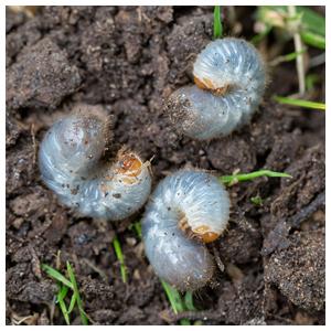 Beetle & Grub Control