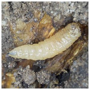 Cabbage Root Maggots