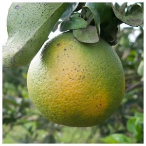 Citrus Greening Disease