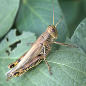 Grasshoppers & Crickets