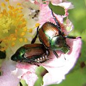 Grub & Beetle Control