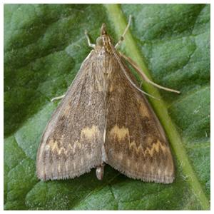 Lepidoptera - Borer Moths
