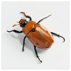 Northern Masked Chafer
