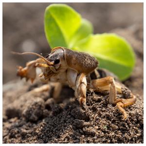 Mole Crickets
