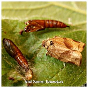Obliquebanded & Pandemis Leafrollers