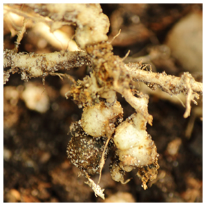 Plant Parasitic Nematodes