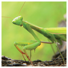 Praying Mantids