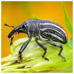 Root Weevils