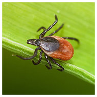 Tick on plant foliage