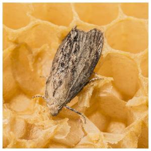 Wax Moths