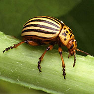 Colorado Potato Beetle Control