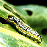Cross-Striped Cabbageworm Control