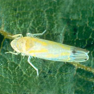 Grape Leafhopper Control
