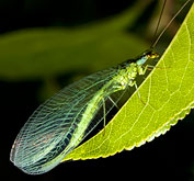 Green Lacewing for garden pest control