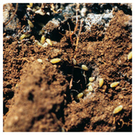 Organic Ways To Kill Root Aphids