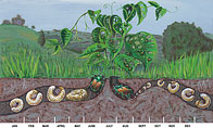 Life Cycle of the Japanese Beetle and Grub