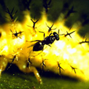 Mexican Bean Beetle Parasite