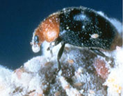 Mealybug Destroyer - beneficial insect