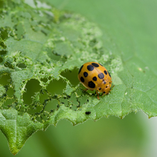 Adult Mexican Bean Beetle Feeding