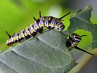Neem oil for caterpillar control