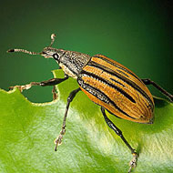 Root Weevil Control