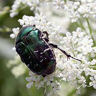 Rose Chafer Control