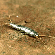 Silverfish control and treatments
