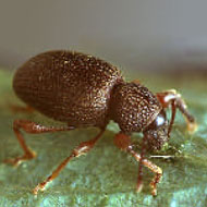 Strawberry Root Weevils