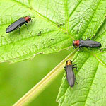 Cane Borer - Red-Necked