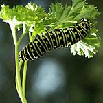Celery Worm - Carrot Worm
