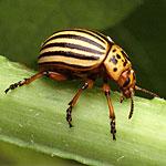Control del Escarabajo de la Papa de Colorado