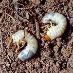 June Bugs - May Bugs