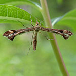 Artichoke Plume Moth