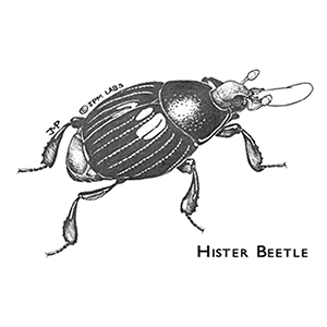 Hister Beetle - 10,000 Count