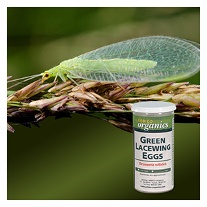 Green Lacewing Eggs