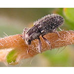 Puncturevine Weevil