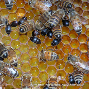 Beneficial Nematodes for Small Hive Beetle Control | H. indica